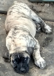 South African Mastiff Puppy