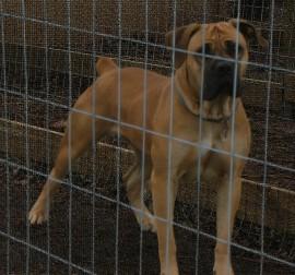 South African Mastiff