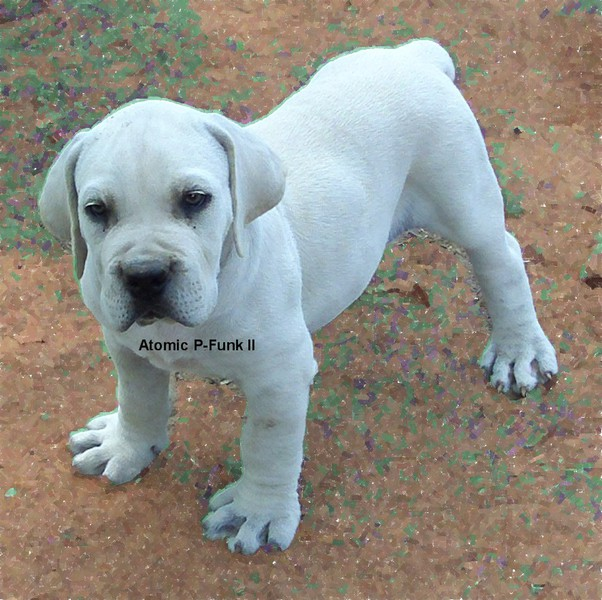 Whitecream Boerboels for Sale | The South African Mastiff
